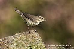Northern waterthrush, October 2012