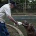 Cría de hipopótamo rescatada de un circo vivirá en zoológico de Nicaragua.