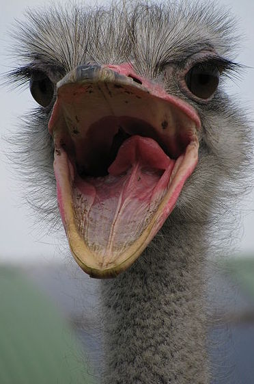 Ostrich with open mouth
