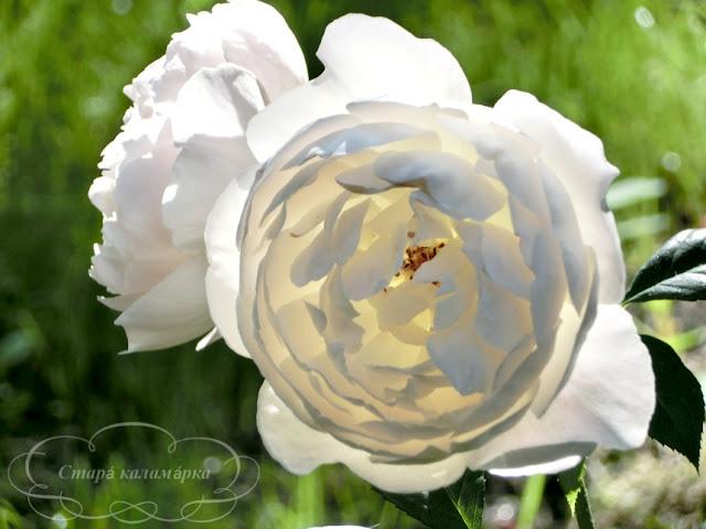 Desdemona (Devid Austin), розы остинки, розы Дэвида Остина, розарии, сочетания роз
