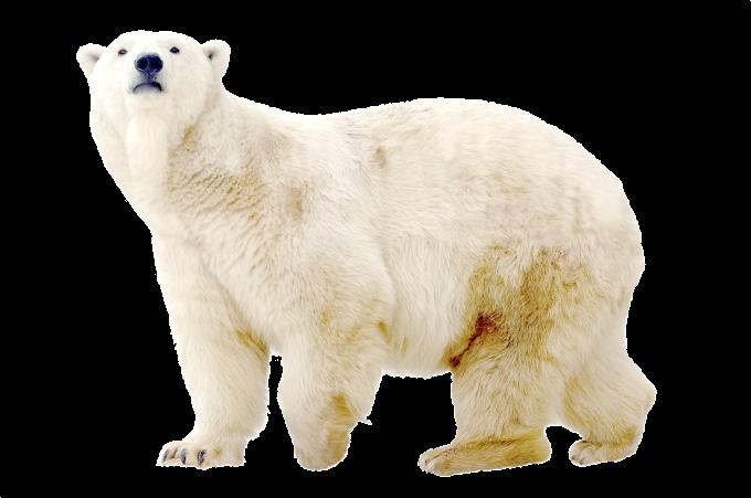 Polar bear Dog North Pole Arctic, Polar white bear, mammal, animals png free png