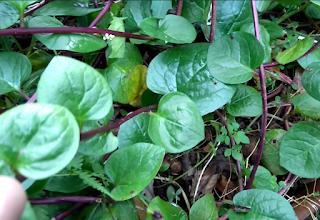 Gambar Atau foto Tanaman Binahong (Anredera cordifolia (Ten.) Steenis)