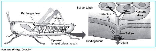 Sistem Pernapasan pada Insecta Belalang