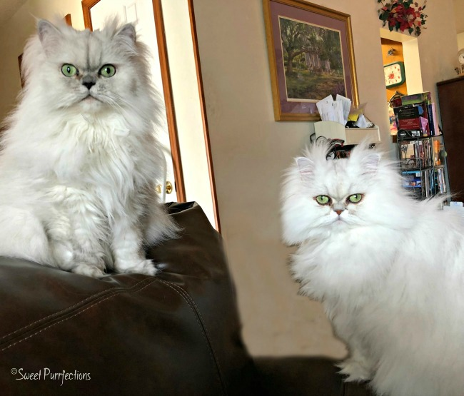 2 silver shaded Persian cats, Truffle and Brulee, on chair