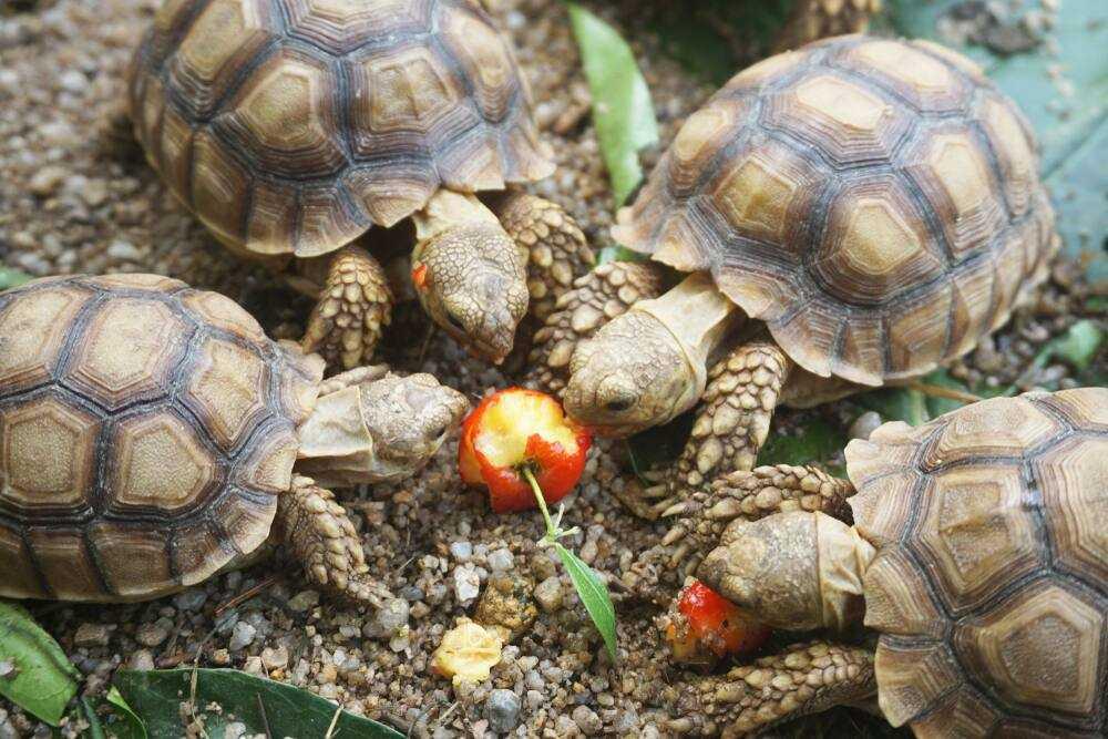 cara mengembangbiakan kura-kura