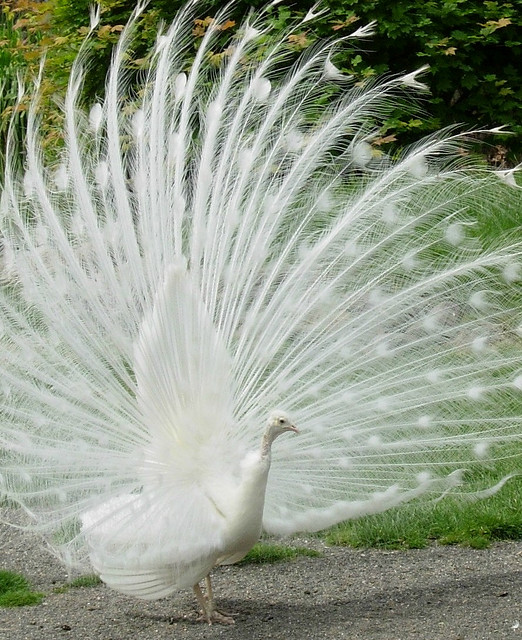 peacock pictures, peafowl pictures, most beautiful and colorful bird in the world, albino peacock pictures, white peacock pictures
