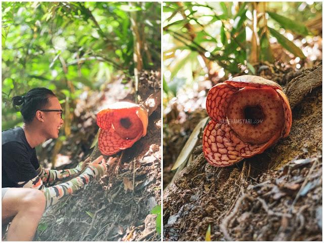 Rafflesia atau Bunga Pakma di Royal Belum
