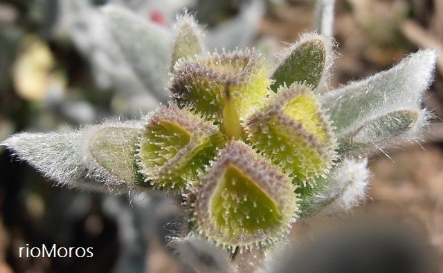 Pardoglossum cheirifolium Fruto de oreja de liebre