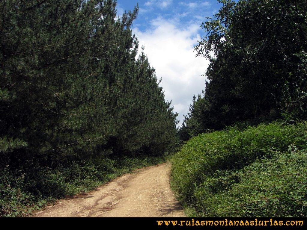 Ruta Cangas - Acebo: Cruzando pinar.