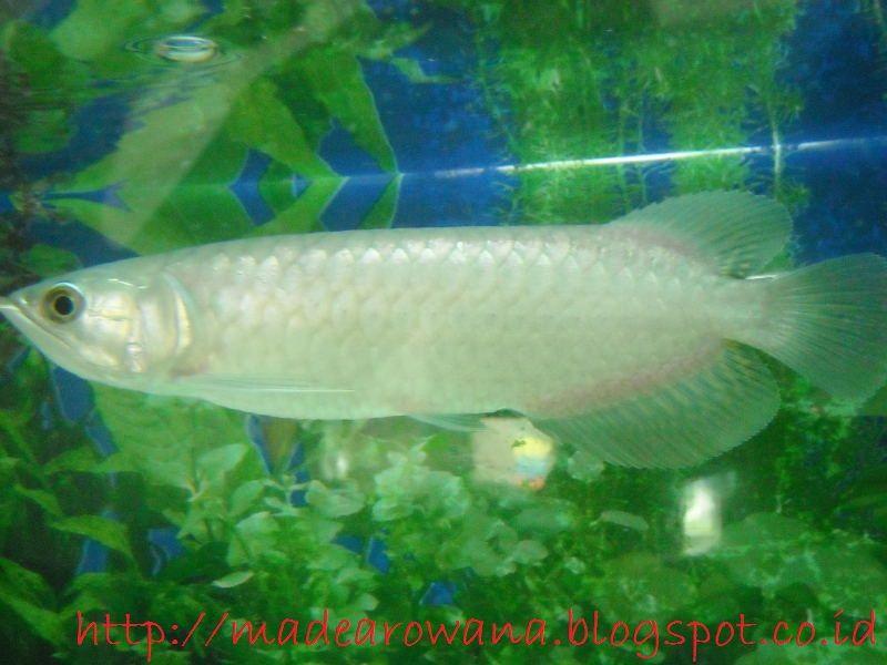 Gambar Dan Foto Ikan Arwana Pino atau Green Arwana Cocok Banget Untuk Pemula