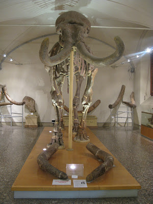 Elephant skeleton found near Florence