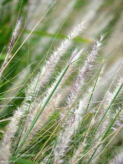 standing grass