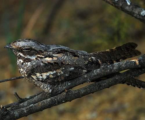 Indian birds - Image of European nightjar - Caprimulgus europaeus