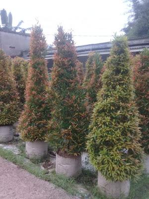 Jual pohon pucuk merah di sentul - tukang rumput bogor