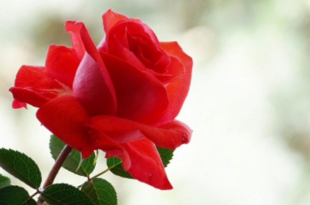 red rose flowers, flowers wallpapers, rose wallpapers, rose pictures, red rose photose
