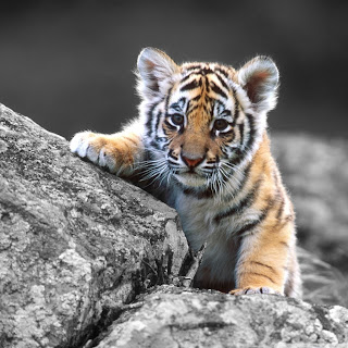 Realistic Cute Tiger Pictures
