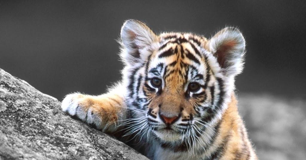 Cute Bengal Cats Wallpaper Realistic Tiger Coloring Pages Realistic Coloring Pages