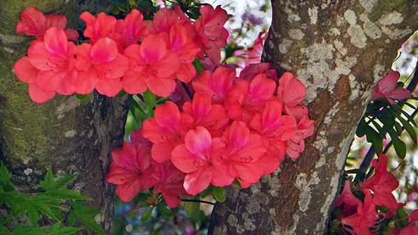 Bright orange-peach-pink azaleas with surrounding trees