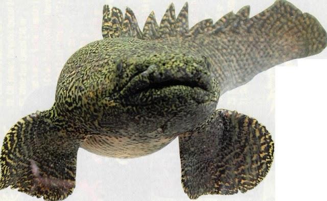 Varian Ikan Palmas ( Polypterus ornatipinnis) Yang Sering Ditangkarkan Para Pehobiis