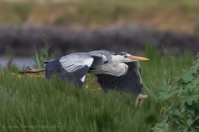 Low flying grey heron Woodbridge Island