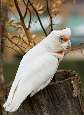 Slender-Billed Cockatoos