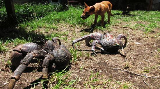 Coconut Crab - Caranguejo coco- Img 1