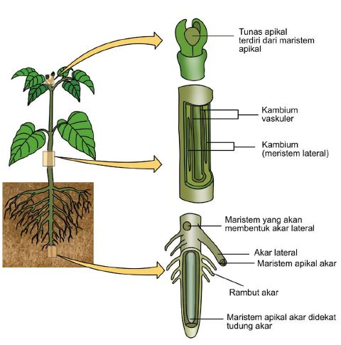 Gambar 2. Jaringan meristem pada tumbuhan www.dosenpendidikan.co.id