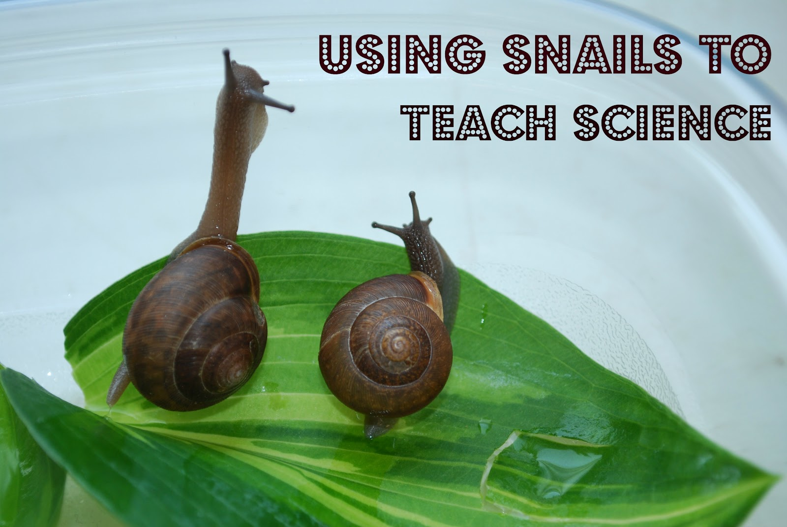 Looking After Snails