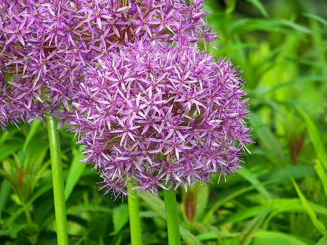 life between the flowers-Purple alliums great balls of colour in a border