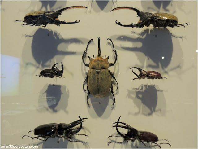 Escarabajos en el Insectarium de Montreal