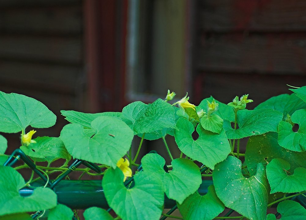 A vine crawling along a chainlink fence with wide hear-shaped leaves, and small yellow blooms.