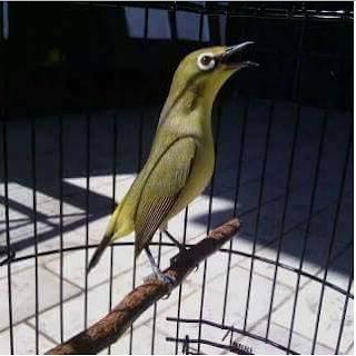 Cara Mendongkrak Performa Burung Pleci Dilapangan