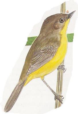 Doradito pardo Pseudocolopteryx dinellianus