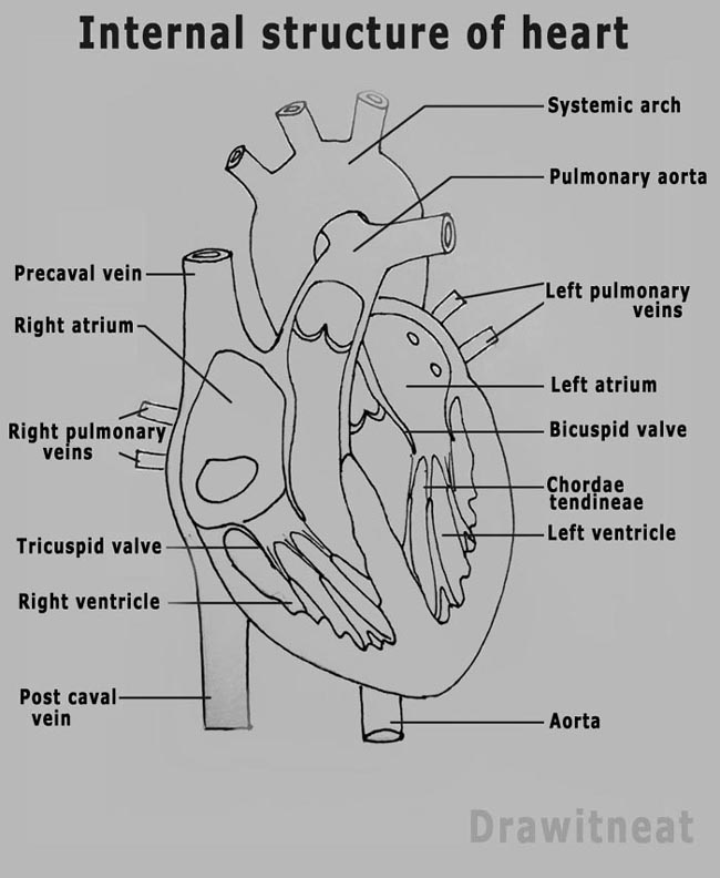 Draw it neat how to draw plant cell how to draw internal structure of mammalian heart ccuart Image collections