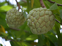 10 Super Health Benefits Of Custard Apple