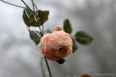 rosier heritage