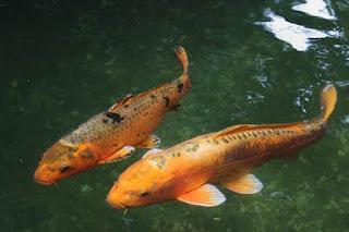 Ikan putih memiliki lemak yang sangat rendah serta kaya mineral