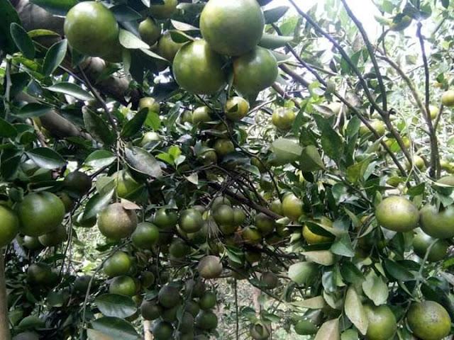 Tanaman jeruk berbuah lebat dari hasil cangkok batang