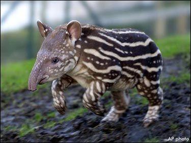 Brazilian Tapir | Animal Wildlife