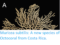 http://sciencythoughts.blogspot.co.uk/2017/02/muricea-subtilis-new-species-of.html