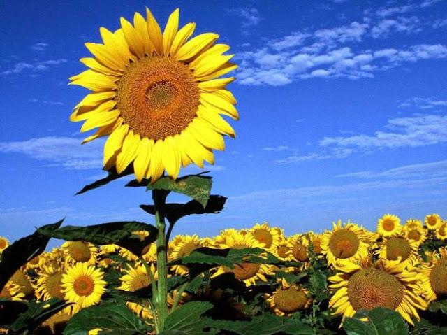 Mơ thấy hoa hướng dương - Đánh con gì để trúng lớn?