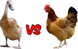 Peternakan Bebek Dan Ayam