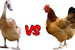 Perbandingan Keuntungan Peternakan Bebek Dan Ayam