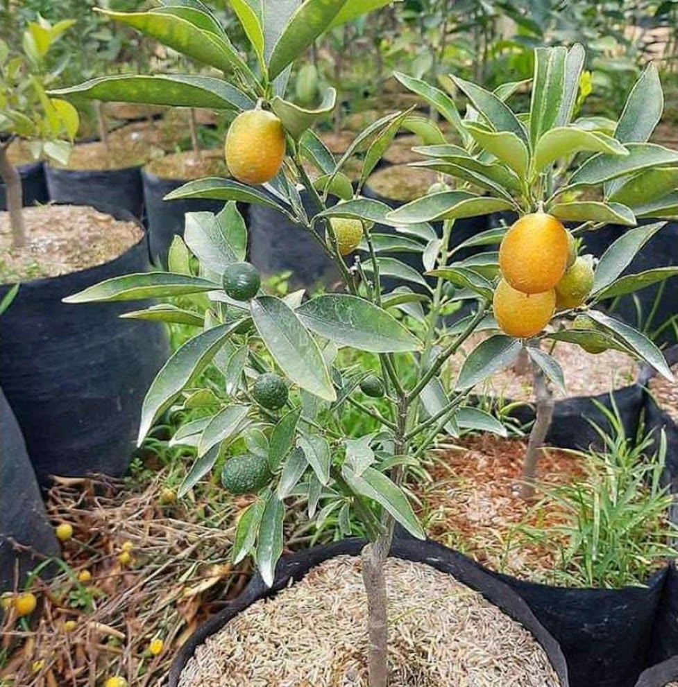 bibit jeruk nagami Aceh