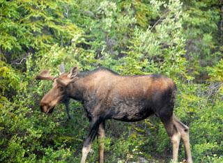 Moose Seen Along Road Alaska Interior