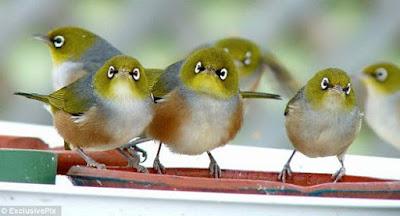 Suara Pleci Koloni di Alam Dengan Gemercik Air Untuk Terapi Pleci Bakalan