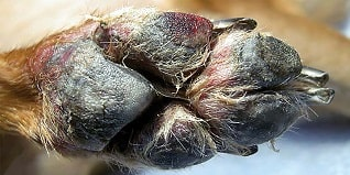 heridas en almohadillas perros