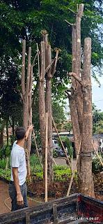 Pohon pule