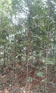 Jual Pohon Damar Laut - Jenis Pohon Pelindung