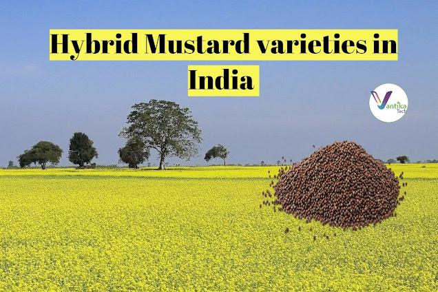 new variety of mustard